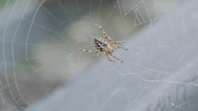 Zamyka up pajęczyna z pająkiem Wielki tropikalny pająk - nephila złoty okrąg w sieci pająk w jego sieci na zakurzonym zbiory wideo