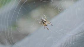 Zamyka up pajęczyna z pająkiem Wielki tropikalny pająk - nephila złoty okrąg w sieci pająk w jego sieci na zakurzonym zdjęcie wideo
