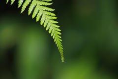 Zamyka up paprociowa liść porada Zdjęcia Royalty Free