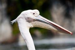 Pelikana zakończenie Fotografia Royalty Free