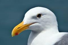 Zamyka up perfect seagull Zdjęcie Royalty Free