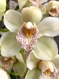 Zamyka up piękna biała orchidea zdjęcia stock