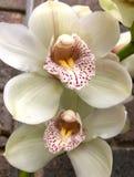Zamyka up piękna biała orchidea fotografia stock