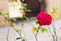 Zamyka up piękna i perfect menchii róża w ogródzie Fotografia Stock