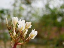 Zamyka up piękny młody yellowish biały Plumeria Frangipani, Świątynny drzewo lub cmentarzy Drzewni kwiaty na defocus tle, Zdjęcie Stock