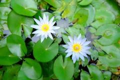 Zamyka up piękny purpurowy lotosowy kwiat i zielenieje lotosowego liść ja zdjęcia stock