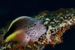 Zamyka up Piegowaty hawkfish Paracirrhites forsteri obraz royalty free