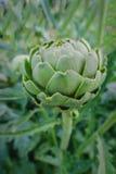 Zamyka up pojedynczy kula ziemska karczocha jarzynowy dorośnięcie naturalnie Fotografia Royalty Free