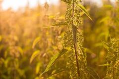 Zamyka up pokrzywowa roślina w lesie Zdjęcie Stock
