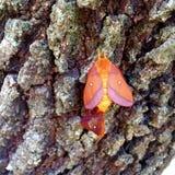 Zamyka up pomarańczowy ćma na Dębowym drzewie Zdjęcia Royalty Free
