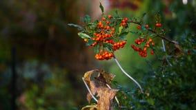 Zamyka up pomarańczowe jagody Zdjęcia Royalty Free