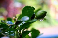 Zamyka up Pomarańczowy jessamine& x27; s fruits& x28; Murraya paniculata& x29; z r Zdjęcie Stock
