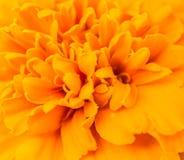 Zamyka up pomarańczowy nagietka kwiat Obraz Stock