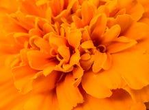 Zamyka up pomarańczowy nagietka kwiat Fotografia Royalty Free