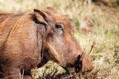 Zamyka Up Pospolity Warthog Fotografia Royalty Free