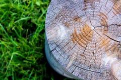 Zamyka up przekrój poprzeczny drzewny fiszorek na trawie Zdjęcie Royalty Free