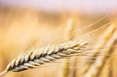 Zamyka up pszeniczny ucho pole Zdjęcie Royalty Free