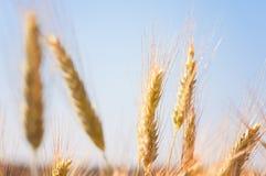 Zamyka up pszeniczny ucho pole Obraz Royalty Free