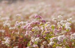 Zamyka up purpurowa gryka & x28; Tama Giac mach w Vietnamese& x29; kwiat Zdjęcia Royalty Free