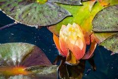 Zamyka up różowa wodna leluja; ciemnozieleni liście w tle obraz royalty free