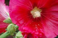 Zamyka up różowy Hollyhocks kwiat Chałupa ogródu kwiat Obrazy Stock