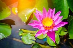 zamyka up różowy lotos, piękny kwiat Obrazy Royalty Free