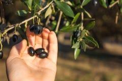 Zamyka Up ręki Zbierackie oliwki Od drzewo oliwne gałąź Zdjęcie Royalty Free