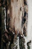 Zamyka up rżnięty drzewny bagażnik jako tło Stara drzewnego bagażnika tekstura i tło dla projekta Naturalny i organicznie tło Fotografia Stock