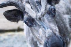 Zamyka up renifer, Alaska obrazy stock