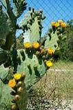 Zamyka up roślina figa ind z cierniami i kolorów żółtych kwiatami Zdjęcia Royalty Free