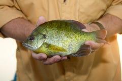 Zamyka up rybak trzyma żywego Bluegill Zdjęcia Stock