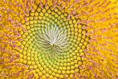 Zamyka up słońce kwiat zdjęcia royalty free