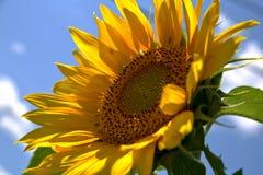 Zamyka up słonecznik obraz royalty free