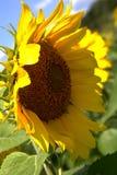 Zamyka up słonecznik obrazy royalty free