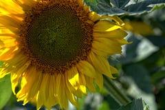 Zamyka up słonecznik zdjęcia royalty free