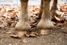 Zamyka up s konia ` kopyta Zdjęcie Stock