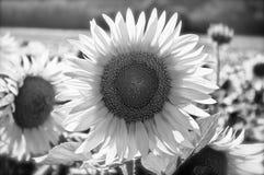 Zamyka up słonecznik w polu Obraz Royalty Free