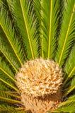 Zamyka up Sago palma Obrazy Stock