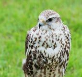 Zamyka up Saker jastrząbka ptak drapieżny zdjęcia stock