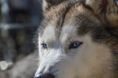 Zamyka Up Sibernian Huskey pies Fotografia Stock