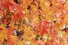 Zamyka Up spadki Barwiący liście i Kłujące piłki na Sweetgum Li Obraz Royalty Free