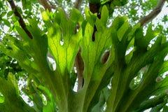 Zamyka Up Staghorn paproci liścia tekstura Obrazy Stock
