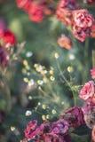 Zamyka up stare róże z zawijasa skutkiem Zdjęcia Stock