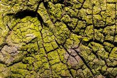 Zamyka up stary szorstki drewniany tło z liszajami Zdjęcia Stock