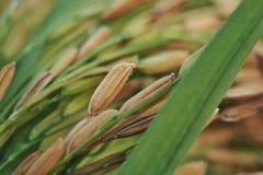 Zamyka up susi irlandczyków ryż zdjęcie royalty free