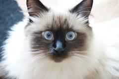 Zamyka up Syberyjski Lasowy kot Zdjęcia Royalty Free