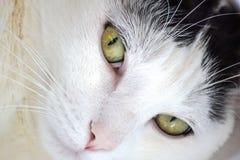 Zamyka up sypialnego piękna bielu kot Fotografia Royalty Free