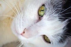Zamyka up sypialnego piękna bielu kot Obrazy Royalty Free