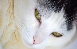 Zamyka up sypialnego piękna bielu kot Zdjęcie Royalty Free