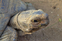 Zamyka Up Tortoise głowa Obraz Stock